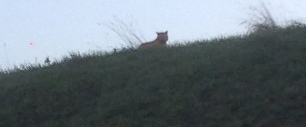 PHOTO: Residents have been warned to stay inside as officials search for a large feline on the loose outside of Paris.