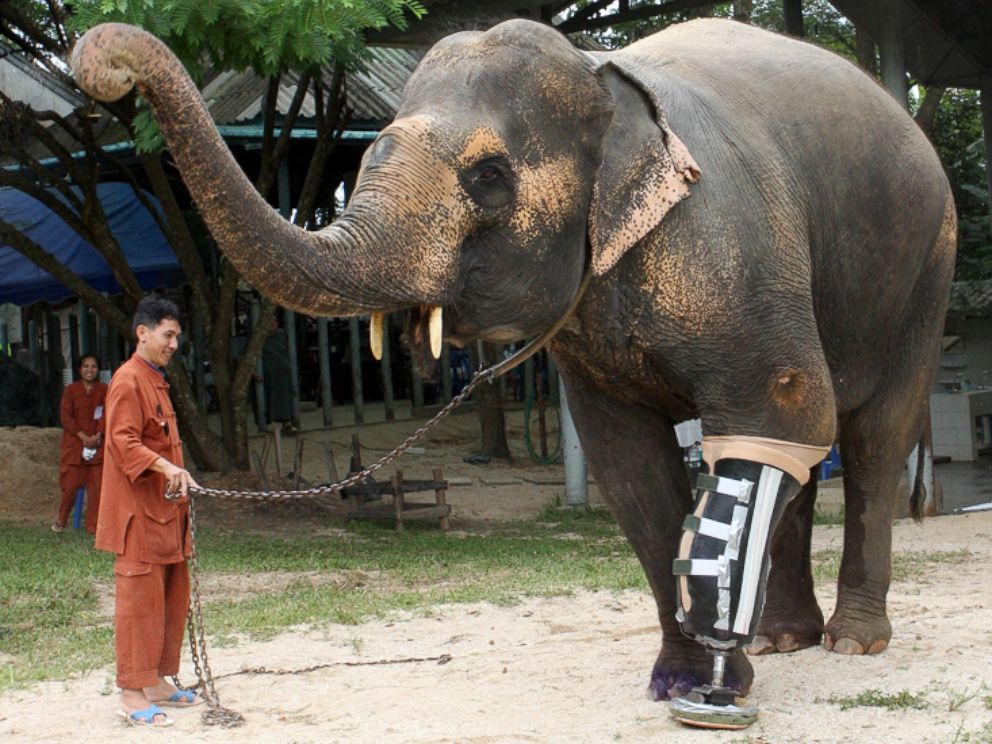 PHOTO: Motala, a 50-year-old elephant in Thailand who lost her left front leg after stepping on a land mine a few years ago, received a new leg.