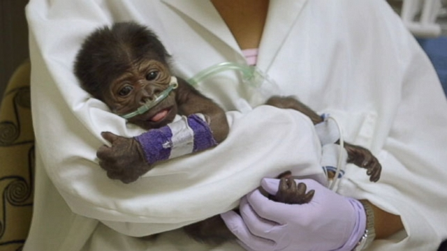 Female gorilla born by C-section at the San Diego Zoo is under 24-hour care.