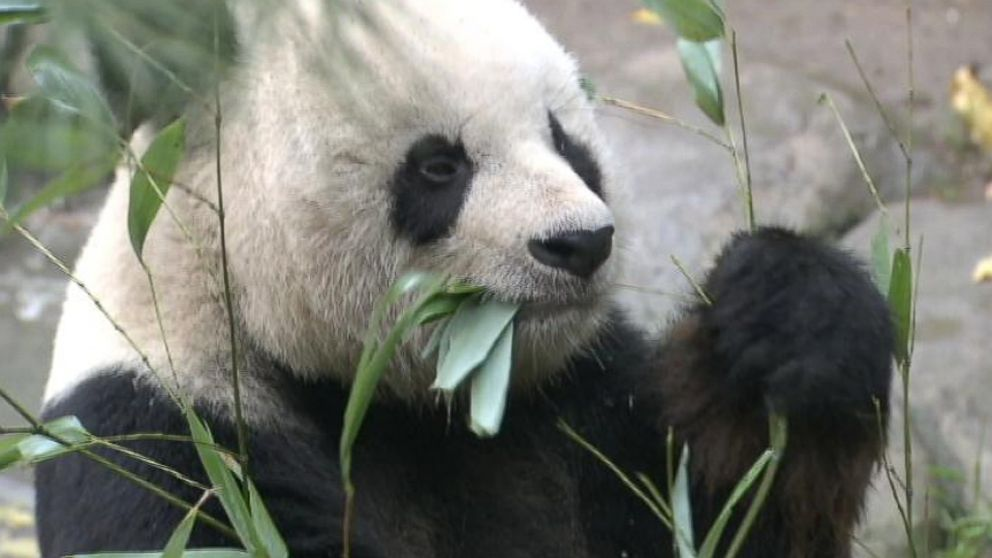 Gao Gao is on the mend after undergoing surgery at the San Diego Zoo to remove a testicular tumor.