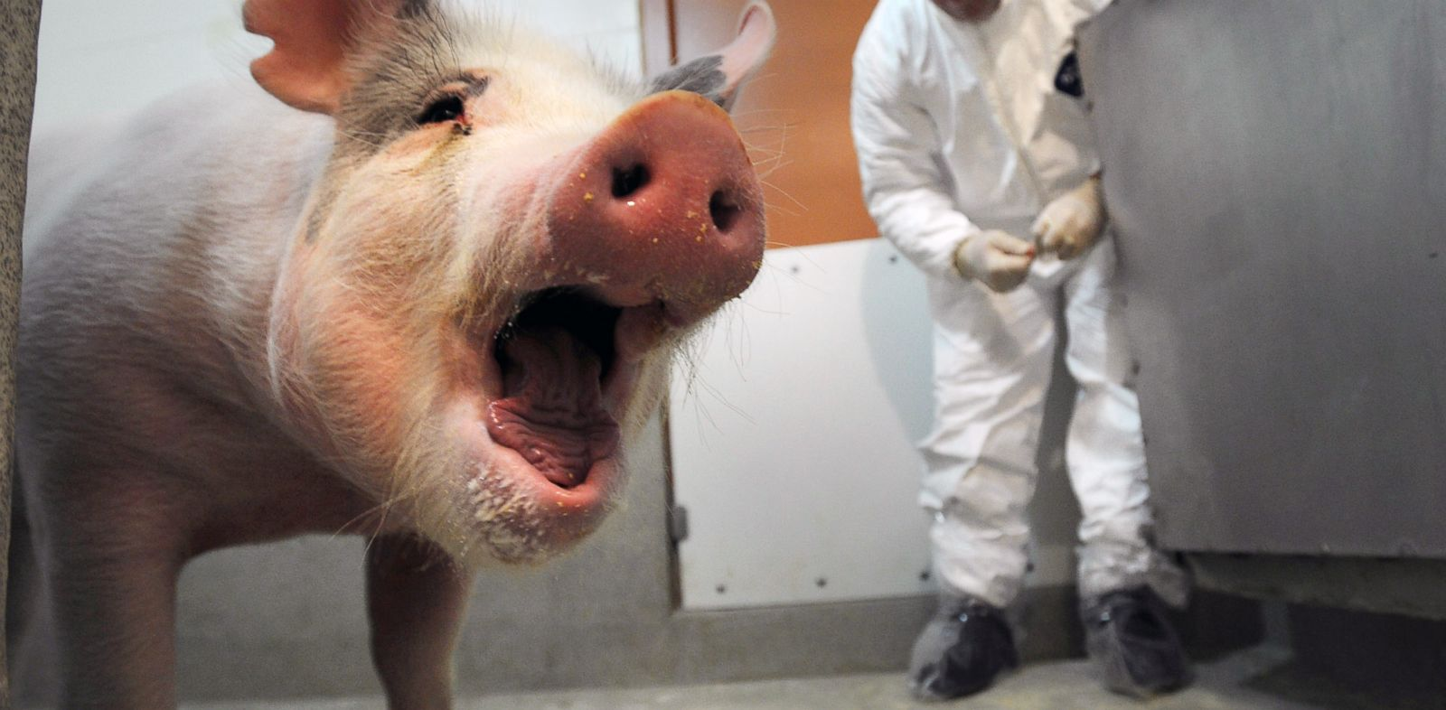 PHOTO: Taz, an Iowa State University College of Veterinary Medicine resident pig, receives a standard physical examination in this Dec. 6, 2010 photo.