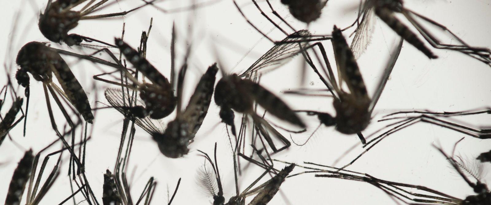 PHOTO: Aedes aegypti mosquitoes sit in a petri dish at the Fiocruz institute in Recife, Pernambuco state, Brazil, Jan. 27, 2016.