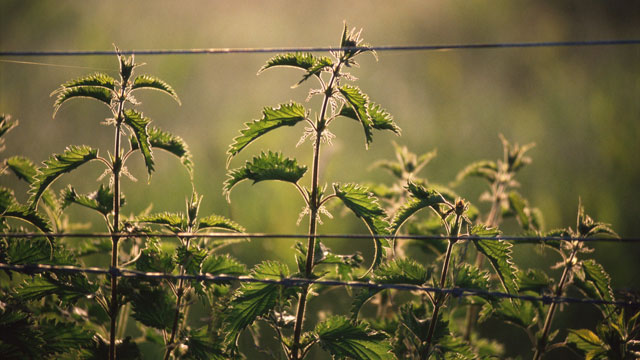 PHOTO: Stinging nettles along a country road in Ireland in this undated stock photo.