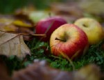 PHOTO: Italian scientists are working to create a hypoallergenic apple through the process of genetic modification.