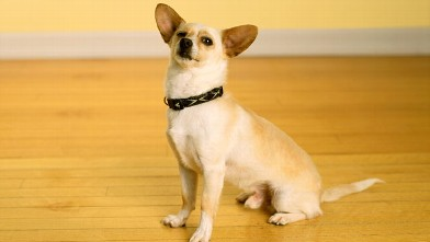 PHOTO: Chihuahua dog