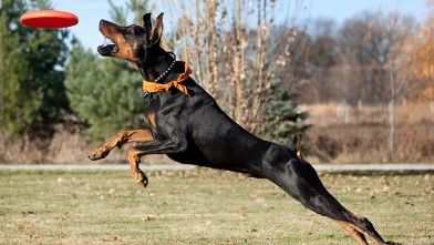 PHOTO: Doberman Pinscher Running, Jumping, Striving to Catch Frisbee