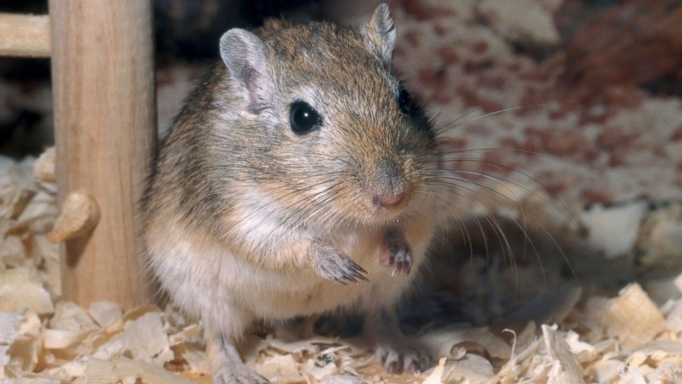 Gerbils not rats may have caused bubonic plague study finds abc news - Raton en casa ...