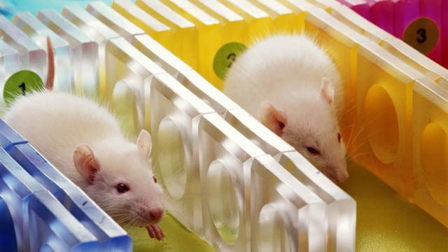 PHOTO: Short bursts of stress boost the immune systems of rats, and possibly humans too.