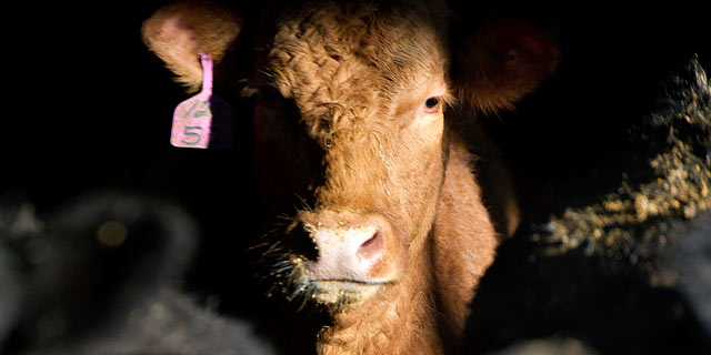 PHOTO: Beef cattle stand in a barn on the Larson Farms feedlot in Maple Park, Illinois on Jan. 18, 2012.