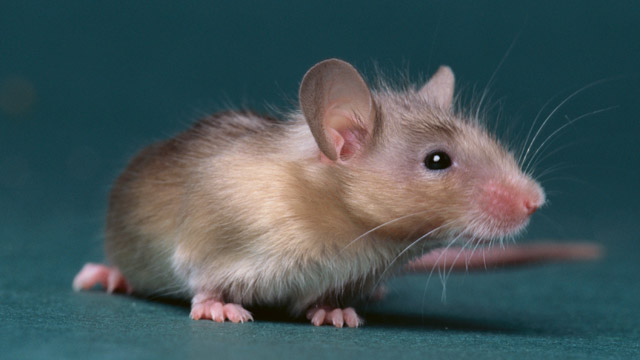 PHOTO:mouse