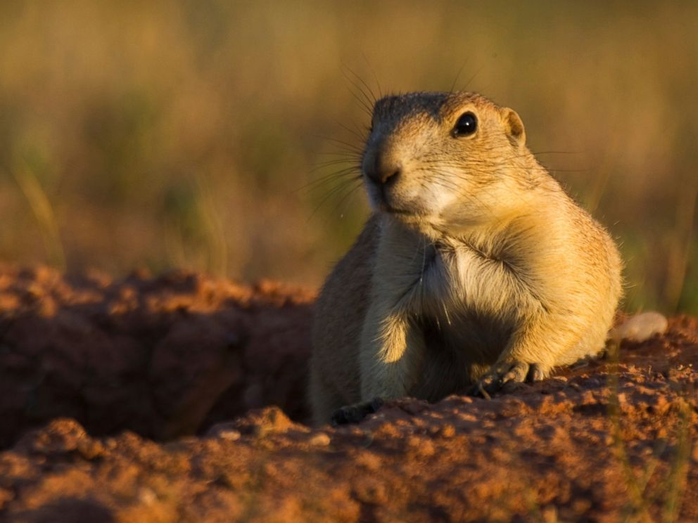PHOTO: A prairie dog is seen in a stock photo. Plague has been known to affect prairie dogs in the southwest region of the U.S.