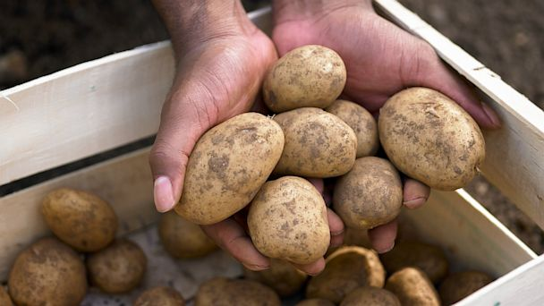 PHOTO: Hands are seen holding a potato harvest in this undated stock photo. Scientists are working developing edible vaccines that could be consumed through potatoes instead of needles or pills.