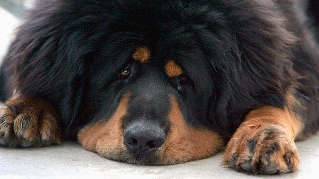 PHOTO: Tibetan Mastiff