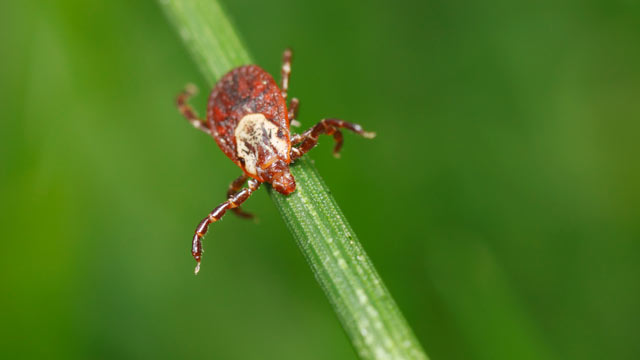 PHOTO: Meat allergies in children can be tied to tick bites.