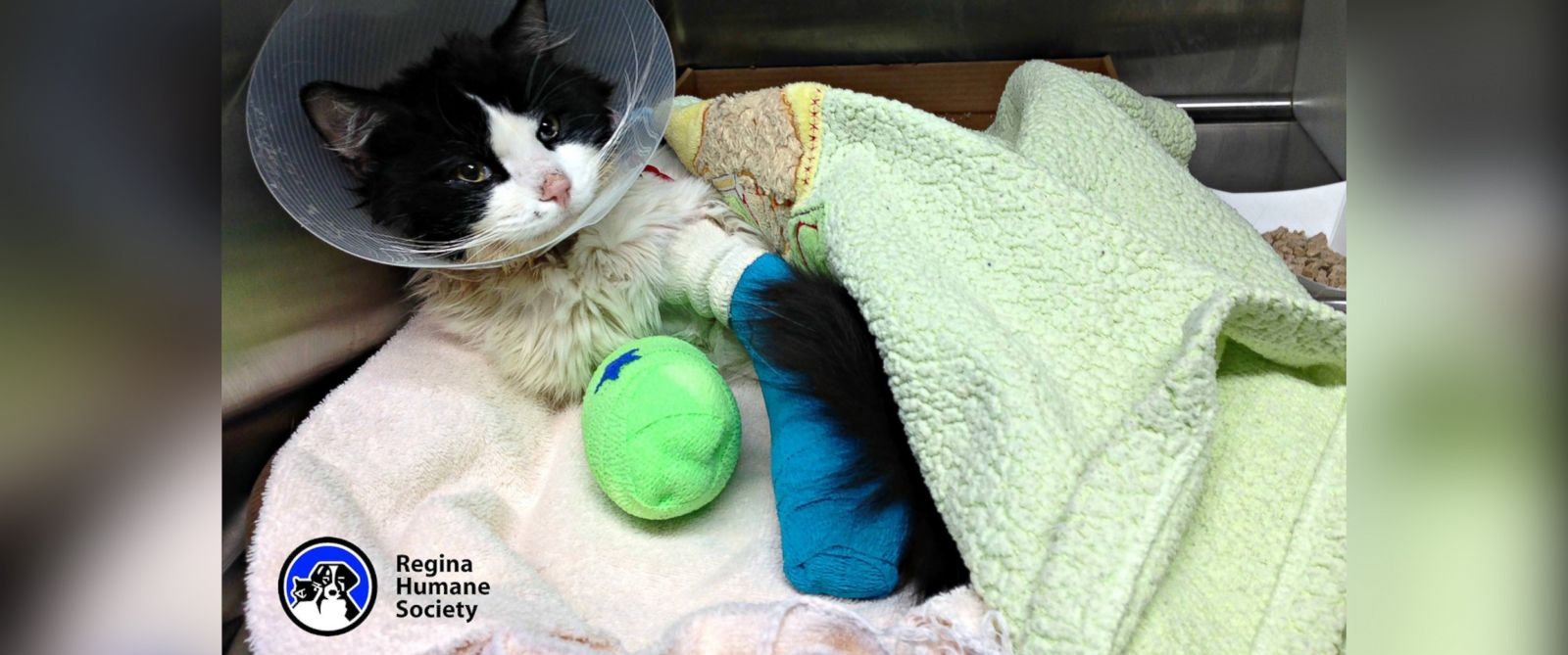 """PHOTO: A cat nicknamed """"Bruce Almighty,"""" seen here in an image posted to the Regina Human Society Facebook page on March 23, 2015, required surgery to remove several toes on his front paws after he was found wrapped in electrical tape."""