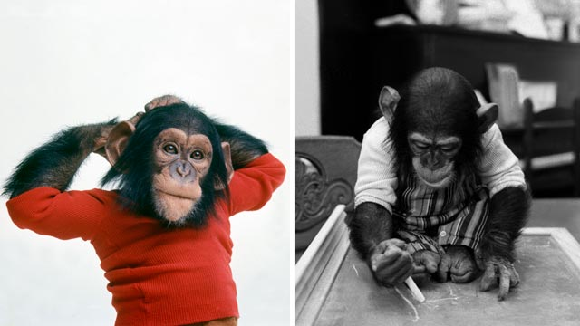 PHOTO: Nim Chimpsky was raised as human and learned to use sign language.