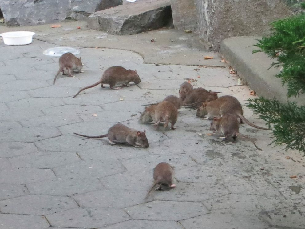 PHOTO: These rats were photographed at a park in New York City.