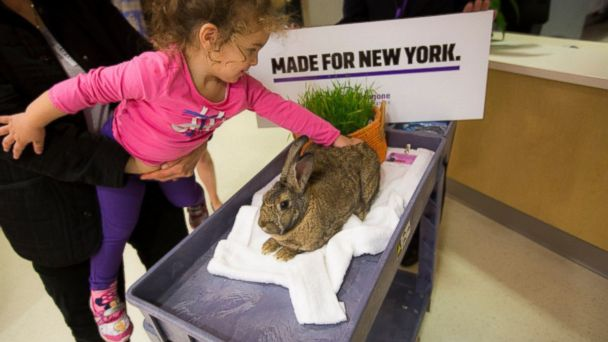 "PHOTO: Therapy bunnies live in NYU Langone Medical Center, where they're ""on-call"" to visit with adults and children at the hospital."