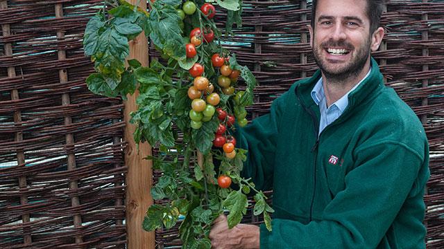 PHOTO:The TomTato is a hybrid tomato, potato plant.