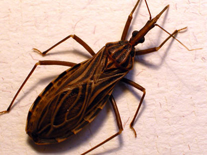"kissing bugs pictures. It is called a ""kissing bug"""