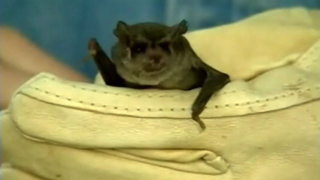 VIDEO: Health officials in California are warning people to stay away from unusual looking bats.
