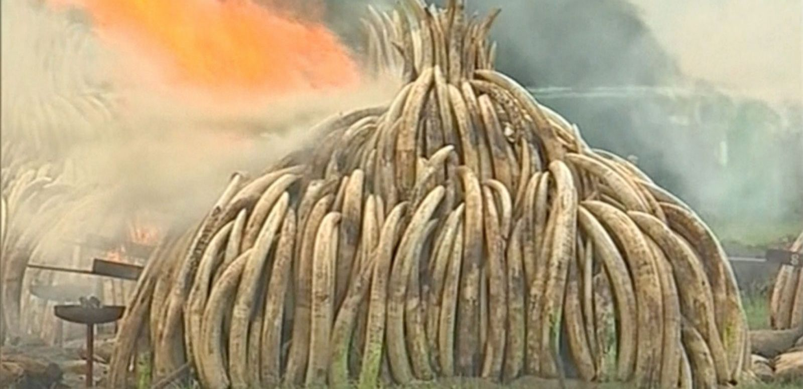 VIDEO: Kenya Protests Poaching by Burning Pile of Ivory