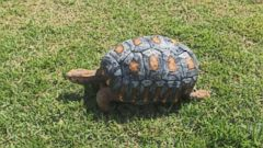 The tortoise looked like Freddy Krueger before his new shell.