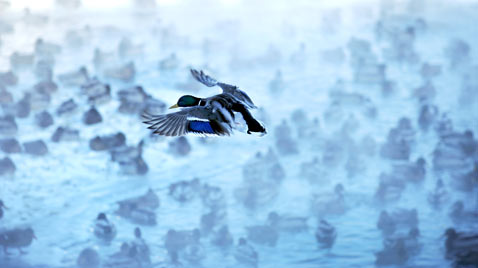AP alaska ducks ss thg 120120 wblog Today in Pictures: Jan. 20, 2012