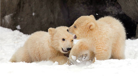 AP russian polar bear Cubs ss thg 120313 wblog Today in Pictures: Cheltenham Horse Race, Gaza Mourns, Afghanistan Protests, and Turtles