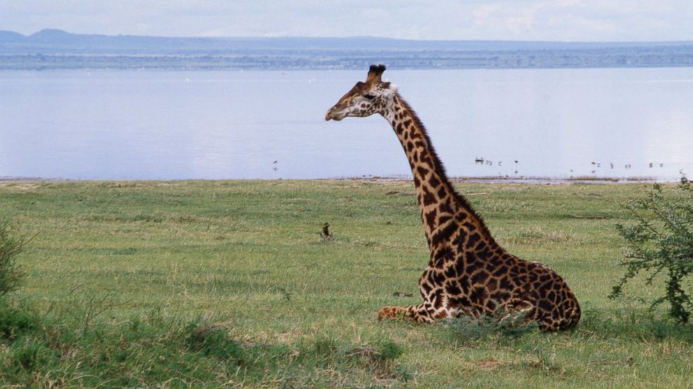 Giraffes in Danger of Extinction: Why Their Numbers Have Dropped ...