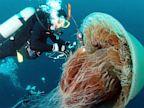 PHOTO: Echizen jellyfish