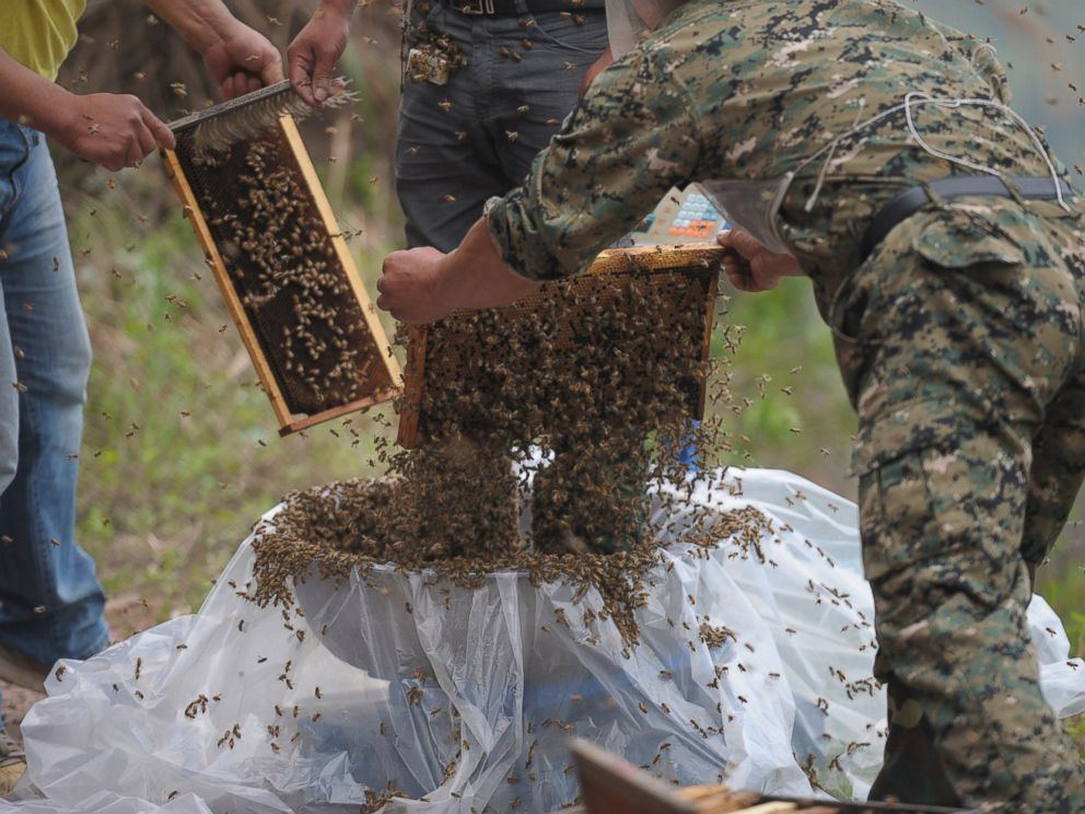 PHOTO: This picture taken on April 9, 2014 shows She Ping, center, a 34 year-old local beekeeper, preparing to wear bees on a small hill in southwest Chinas Chongqing.