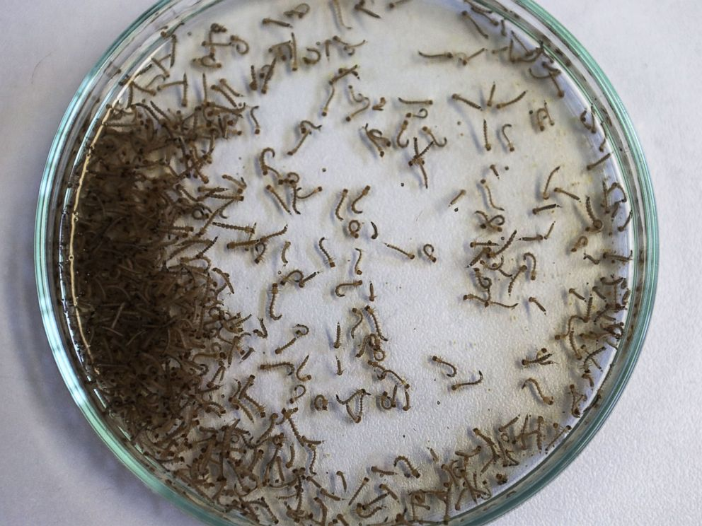 PHOTO: Aedes aegypti mosquito larvae are seen in a lab at the Fiocruz institute, Jan. 26, 2016 in Recife, Pernambuco state, Brazil.