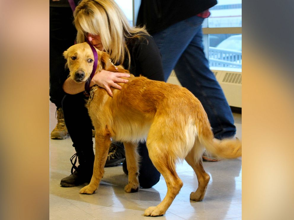 PHOTO: It was love at first sight at Toronto Pearson International Airport for Golden Retriever Hansel and his new owner.