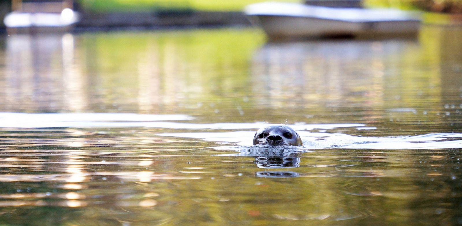 PHOTO: Seal Zola swims in Schwanensee Lake