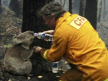 VIDEO: A koala is rescued from the Australian wildfires.