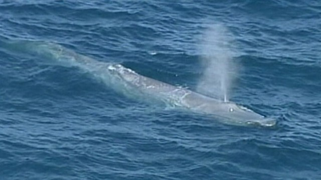 VIDEO: The rarely seen blue whale amazed sightseers in waters off Sydney, Australia.