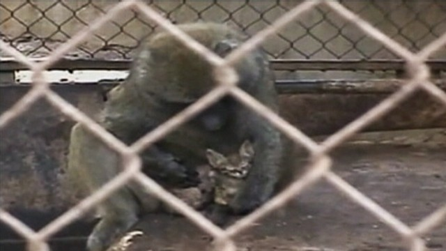 VIDEO: Kitten refuses to leave cage after striking a friendship with a baboon at an Israeli petting zoo.