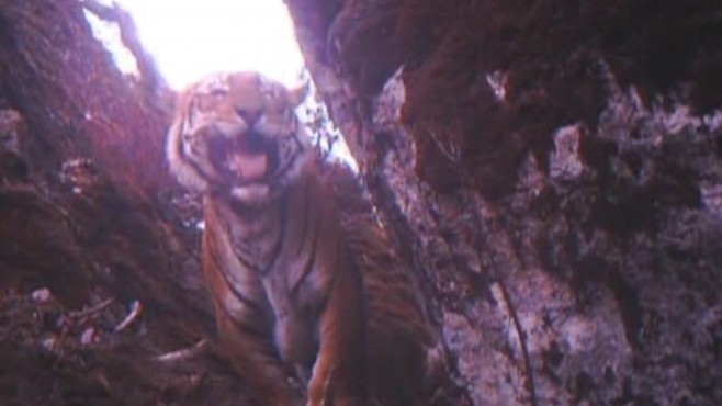 Video: Documentary follows the search for the lost tigers.