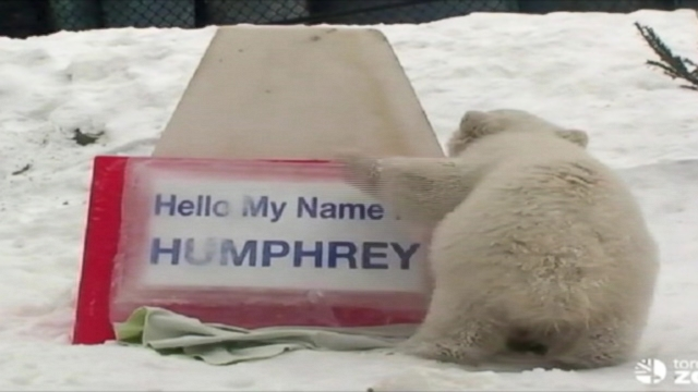 VIDEO: The Toronto Zoo let its newest polar bear speak for itself.
