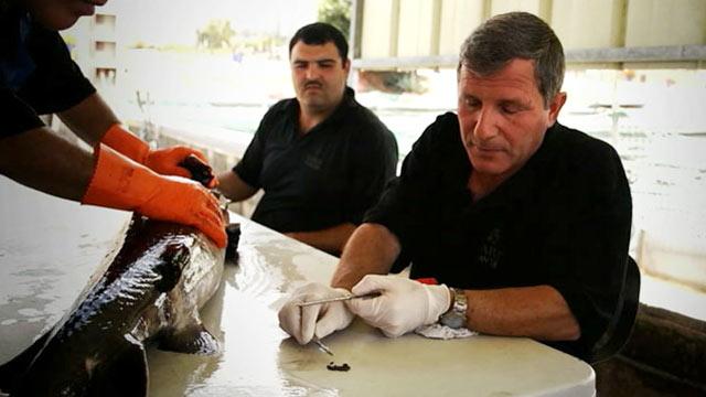 PHOTO: Fishermen catch sturgeon to produce caviar.