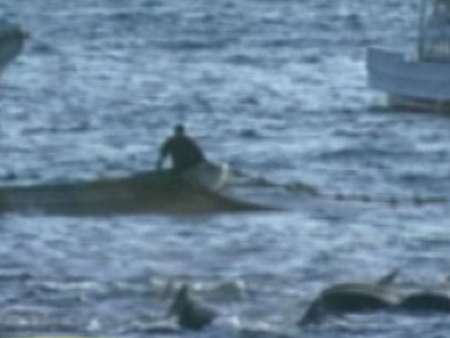 VIDEO: Captured Dolphins Released in Japan