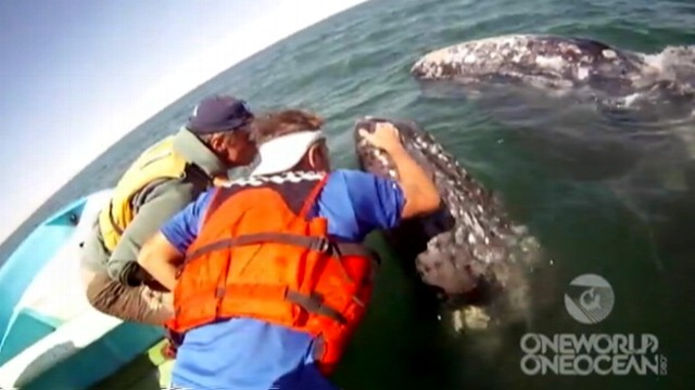 VIDEO: Mother and her calf approach whale watchers in Laguna San Ignacio, Mexico.
