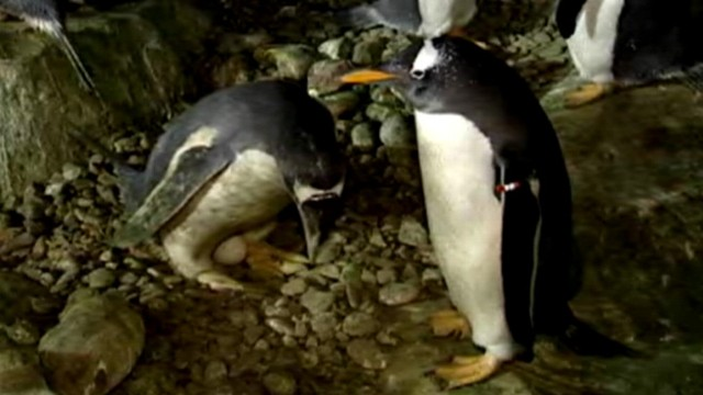 VIDEO: Two male penguins, Inca and Rayas, nurture egg given them by zookeepers.