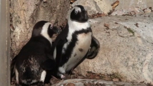 VIDEO: Toronto Zoo officials say Buddy and Pedro will be reunited after mating season.