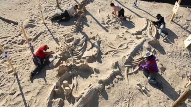 Skeleton fossils from at least 40 whales were discovered in 2010 near a coastal highway in Chile.