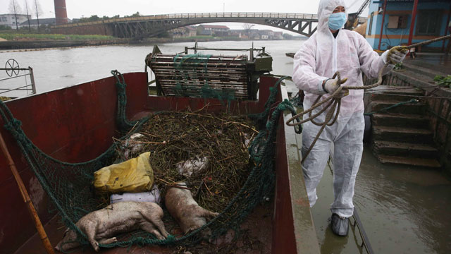 PHOTO: A worker in protective clothing prepares to haul away dead pigs pulled from the Huangpu river along Zhonglian village of Jinshan district in Shanghai on March 13, 2013 where the number of dead pigs found floating in the river flowing into Shanghai
