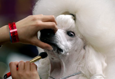 ap Dog westminter ss thg 120214 wblog Today in Pictures: Fashion Week, Syria, Westminster, Valentines Day