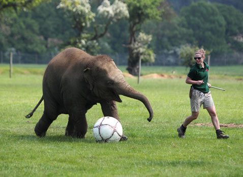 ap baby Elephant football thg 120529 wblog Today in Pictures; Elephant Soccer, Yemen Mourns, Egypts Unrest, and Italys Quake