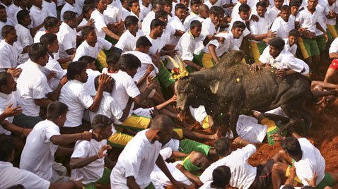 ap india bull festival ss thg 120117 wblog Today in Pictures: Jan. 17, 2012